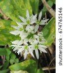 Small photo of flowers of wild or bear garlick Allium ursinum