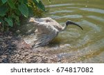 Australian White Ibis Taking A...