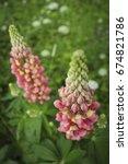 close up wild flowers lupine.... | Shutterstock . vector #674821786