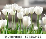 fresh spring white tulips in a... | Shutterstock . vector #674863498