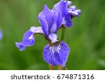 Flower Of Iris Sibirica  Blue...