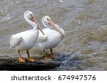 Two American White Pelicans ...