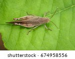 image of brown short horned... | Shutterstock . vector #674958556