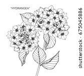 bouquet of hydrangea flowers... | Shutterstock .eps vector #675045886