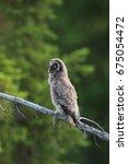 great grey owl or great gray...   Shutterstock . vector #675054472