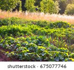 organic vegetable garden | Shutterstock . vector #675077746