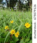 Small photo of Yellow Wedelia and Purple Wild Flowers in a Field