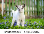 White Baby Goat Standing On...