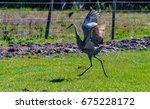 A Sandhill Crane Dancing For...