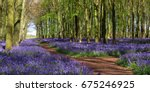 bluebell wood hertfordshire uk | Shutterstock . vector #675246925