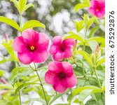Small photo of Pink Allamanda Flowers