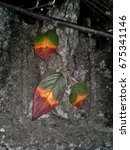 Rainbow Cotoneaster Leaves