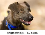 Patterdale Terrier Head