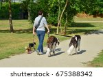 Stock photo a woman is walking different breeds of dogs simultaneously in a park 675388342