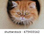 persian cat | Shutterstock . vector #675433162