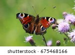European Peacock Butterly