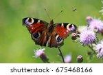 European Peacock Butterly