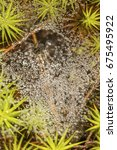 Small photo of Funnel weaver spider, Agelenidae, in its web among mosses at Clark Landing in New London, New Hampshire.