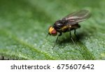 Small photo of A leaf mining fly, Amauromyza flavifrons.