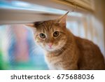 Stock photo cute sweet young tabby cat sitting in a window he s too tall for the window and his head 675688036