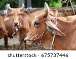 thai cow in the stable | Shutterstock . vector #675737446