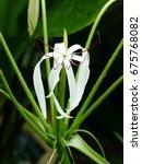 Small photo of Crinum erubescens. Amaryllidaceae family