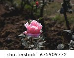 one pink rose on single stem... | Shutterstock . vector #675909772