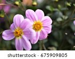 this interesting flower that is ... | Shutterstock . vector #675909805