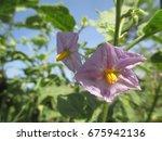Purple Petals Of Eggplant...