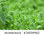 mint on a bed   Shutterstock . vector #676034962