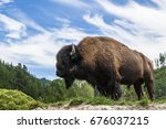 Buffalo  bison  posing in front ...