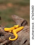 Постер, плакат: Yellow eyelash viper B