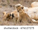 female lion places her paw on... | Shutterstock . vector #676127275