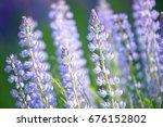 lupinus  lupin  lupine field... | Shutterstock . vector #676152802