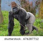 gorillas are ground dwelling ... | Shutterstock . vector #676287712