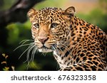The Portrait Of Javan Leopard