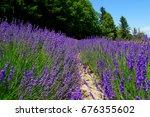 lavender field in hokkaido in... | Shutterstock . vector #676355602