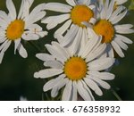 flowers plants chamomile on a... | Shutterstock . vector #676358932