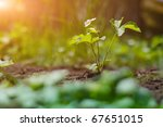 background of strawberry plant... | Shutterstock . vector #67651015