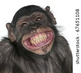 Stock photo close up of mixed breed monkey between chimpanzee and bonobo smiling years old 67651108