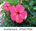 Pink Hibiscus Flower In The...