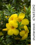 Small photo of Flowering, yellow Allamanda cathartica blooming beautifully on the trees.