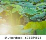 Leaf Of Water Lily Or Lotus