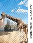 Small photo of Moscow, Russia- May 01: South African giraffe in Moscow zoo on May 01, 2017. Moscow Zoo is the first zoo in Russia founded in 1864 by Russian Imperial Society of Acclimatization of animals and plants.