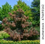 Small photo of Cotinus coggygria, Rhus cotinus, the European smoketree, Eurasian smoketree, smoke tree, smoke bush, or dyer's sumach is a species of flowering plant in the family