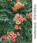 orange ivy  flower  campsis... | Shutterstock . vector #676743412