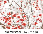 Rowan Berry In Snow On White...