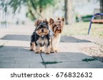 Two Yorkshire Terrier Dogs On...