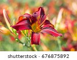Flowering Daylily Flowers ...