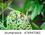 Small photo of Air Potato Leaf Beetle chowing down